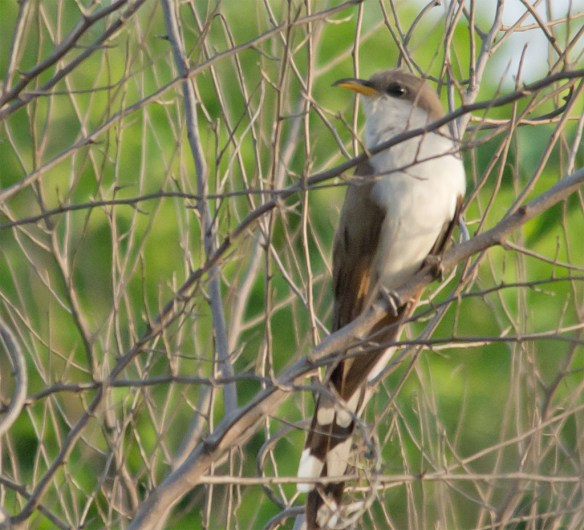 Yellow Billed Cuckoo 103