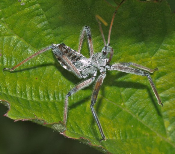 Assassin Bug 110