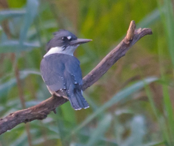 Belted Kingfisher 115