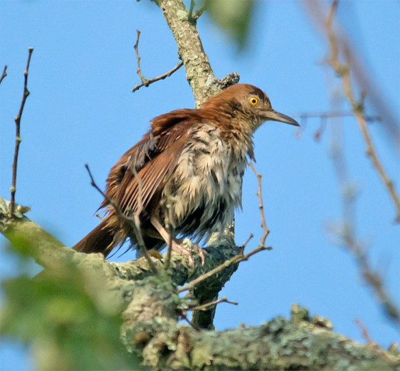 Brown Thrasher 104