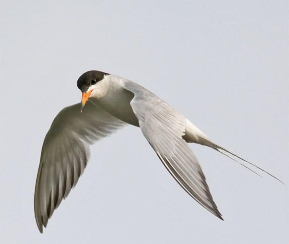 Caspian Tern 123