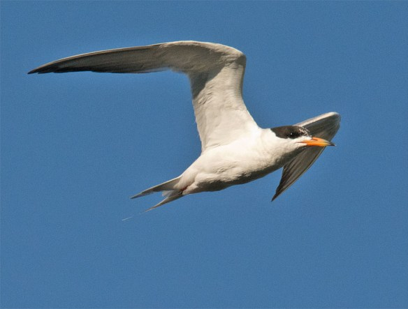 Common Tern 133