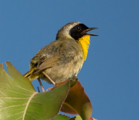 Common Yellowthroat 216