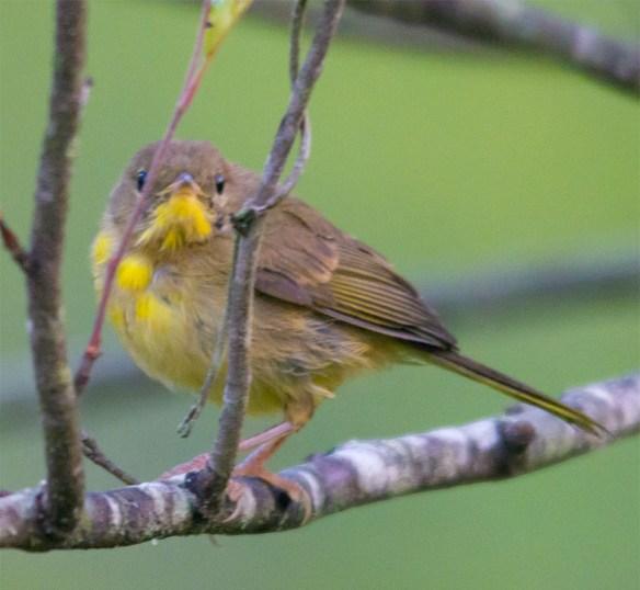 Common Yellowthroat 217