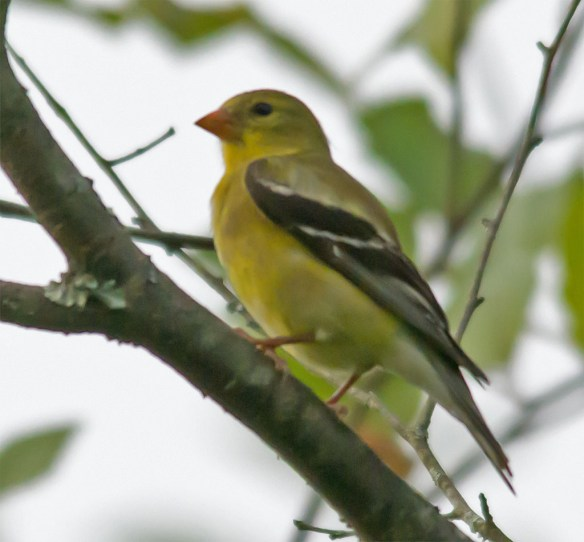 Goldfinch 215