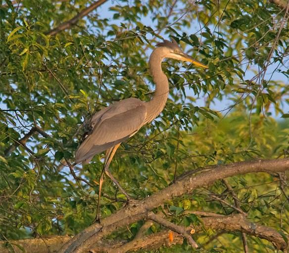 Great Blue Heron 333