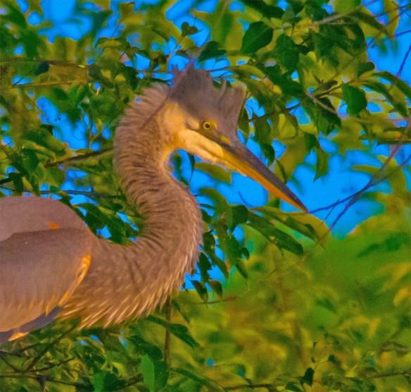Great Blue Heron 334