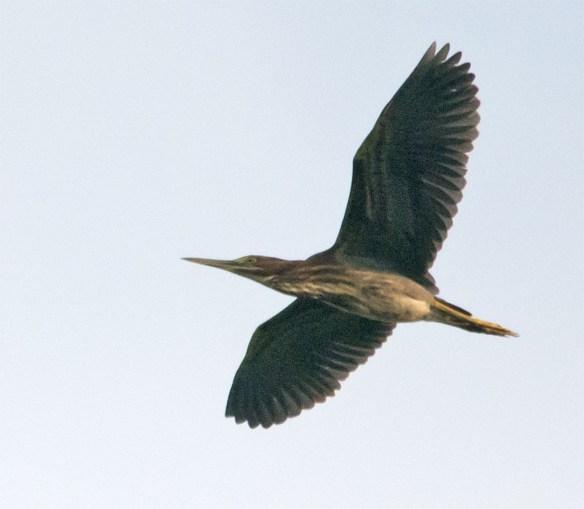 Green Heron 123