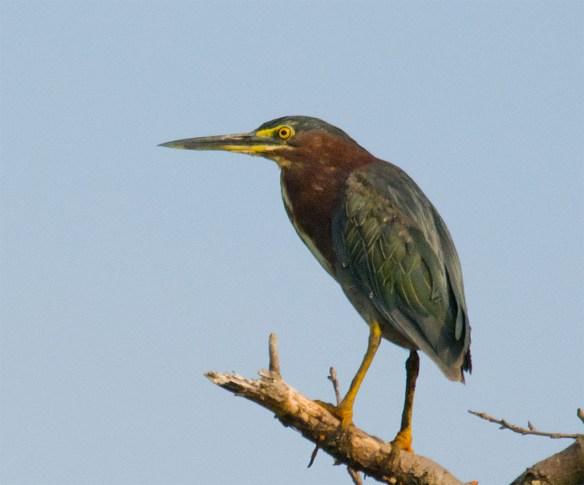 Green Heron 125