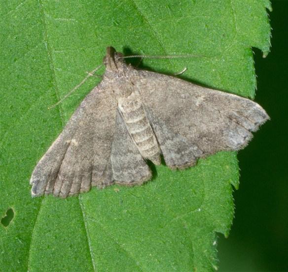 Moth 207