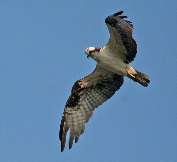 Osprey 362