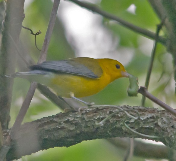 Prothonotary Warbler 141