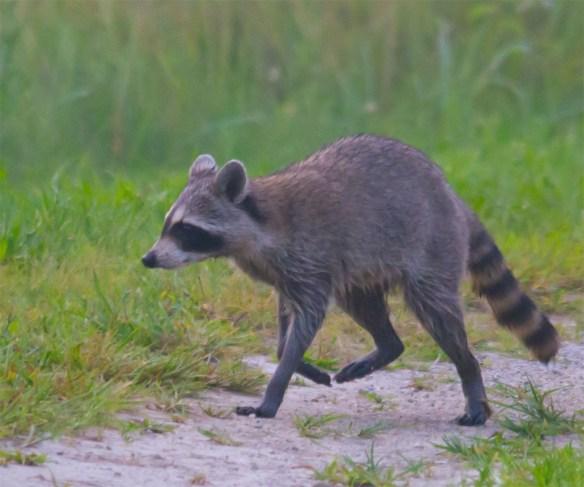 Raccoon 11