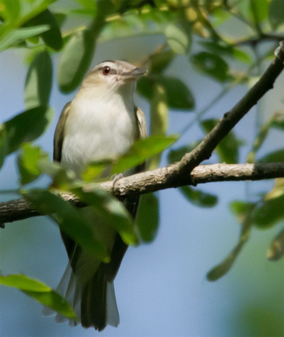 Red Eyed Vireo 301