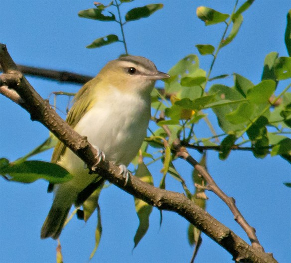 Red Eyed Vireo 305