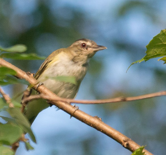 Red Eyed Vireo 306