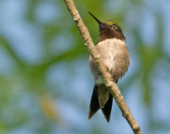 Ruby Throated Hummingbird 307