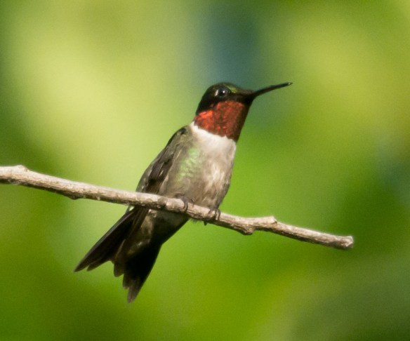 Ruby Throated Hummingbird 319