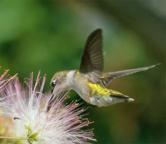 Ruby Throated Hummingbird 320