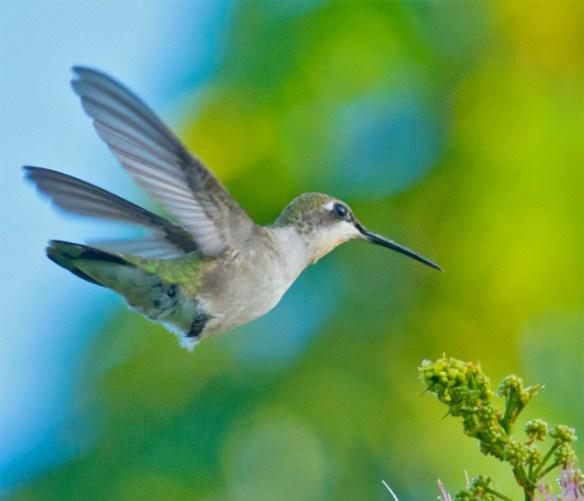 Ruby Throated Hummingbird 321