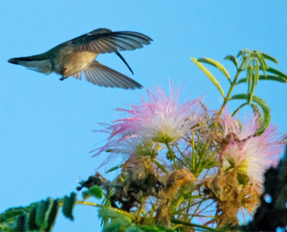 Ruby Throated Hummingbird 322