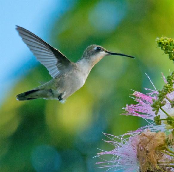 Ruby Throated Hummingbird 323