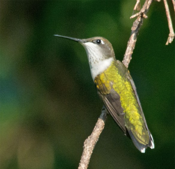 Ruby Throated Hummingbird 325