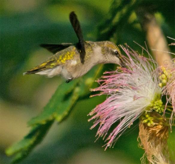 Ruby Throated Hummingbird 329