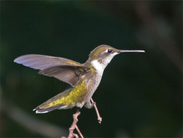 Ruby Throated Hummingbird 330