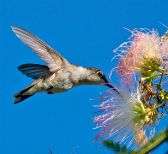 Ruby Throated Hummingbird 331