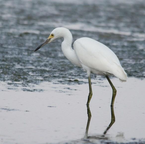 Snowy Egret 142
