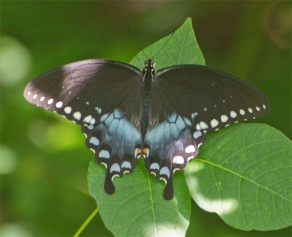 Spicebush Swallowtail 14