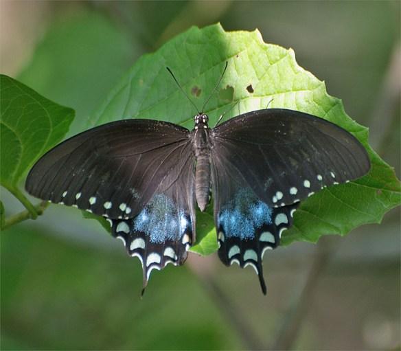 Spicebush Swallowtail 16