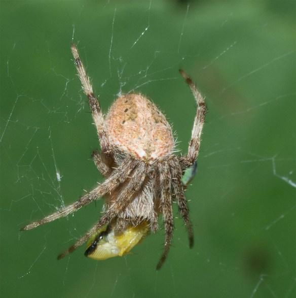 Spider 253
