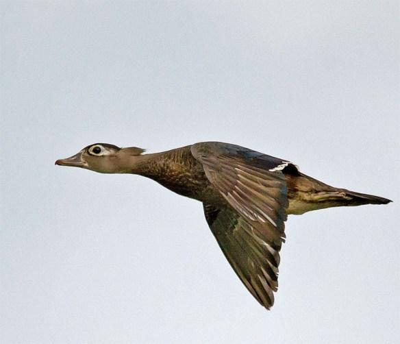 Wood Duck 265