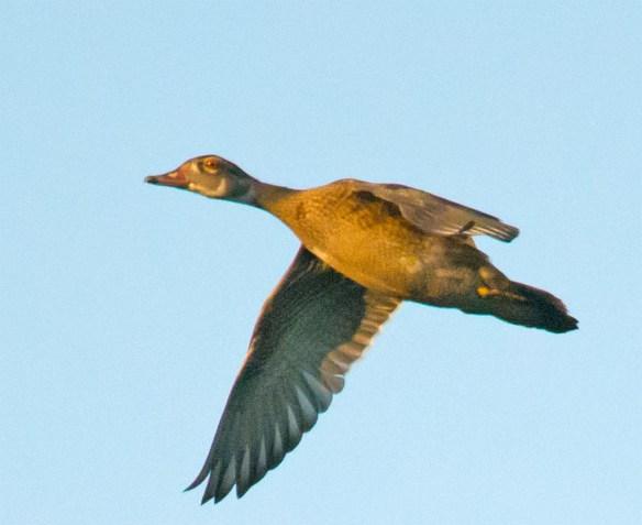 Wood Duck 266
