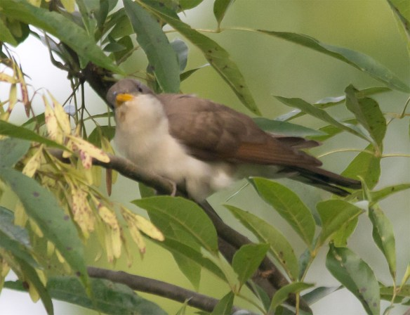 Yellow Billed Cuckoo 105