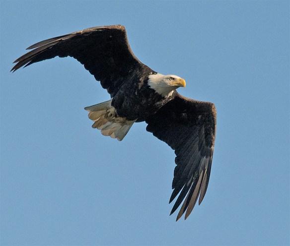Bald Eagle 424