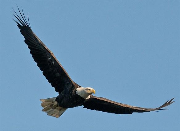 Bald Eagle 425