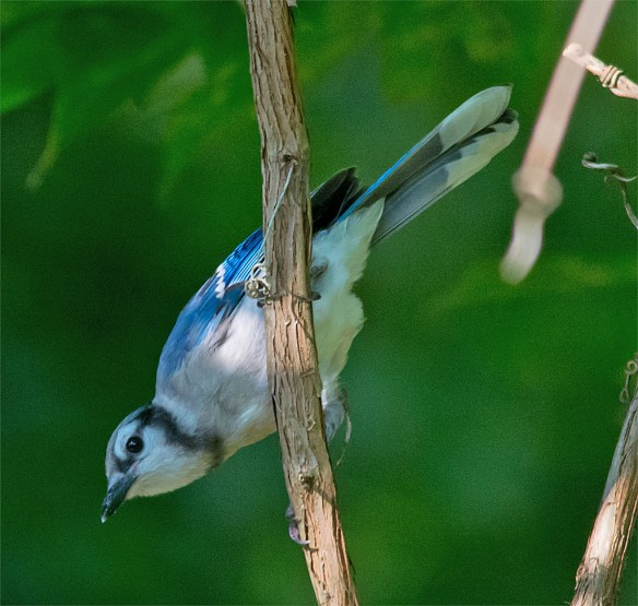 I see a lot of Blue Jays, but they don't often pose well.