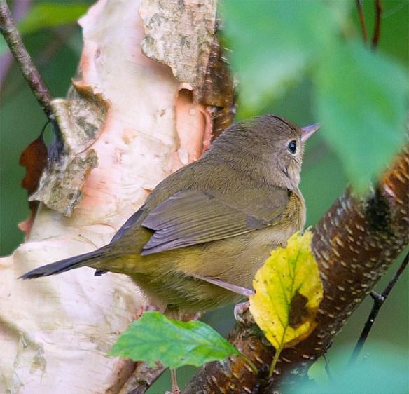 Common Yellowthroat 223