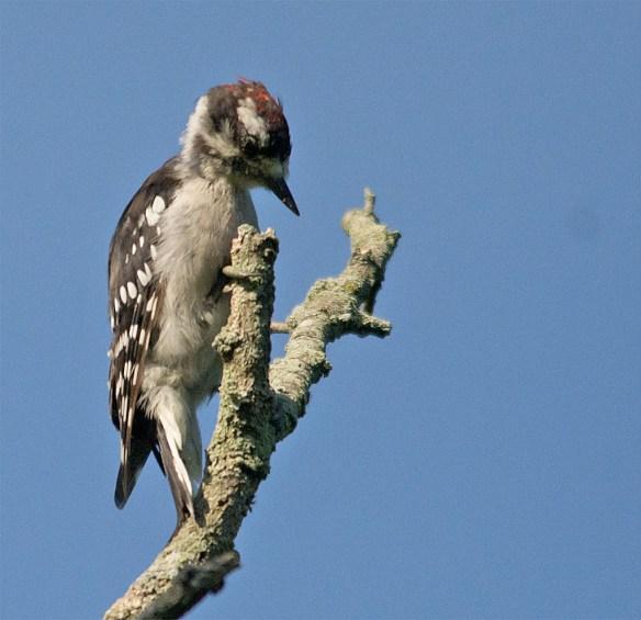 Downy Woodpecker 036
