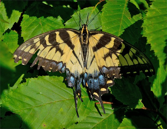 Eastern Tiger Swallowtail 45