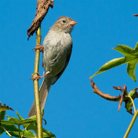 Field Sparrow 108