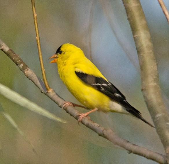 Goldfinch 223