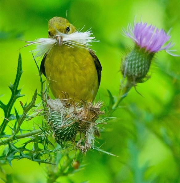 Goldfinch 225