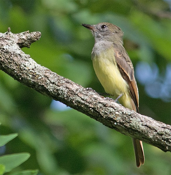 Great Crested Flycatcher 212
