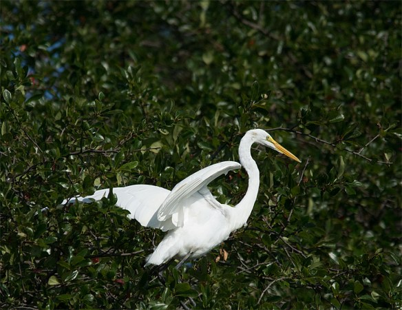 Great Egret 104