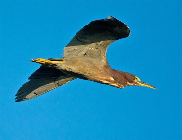 Green Heron 132