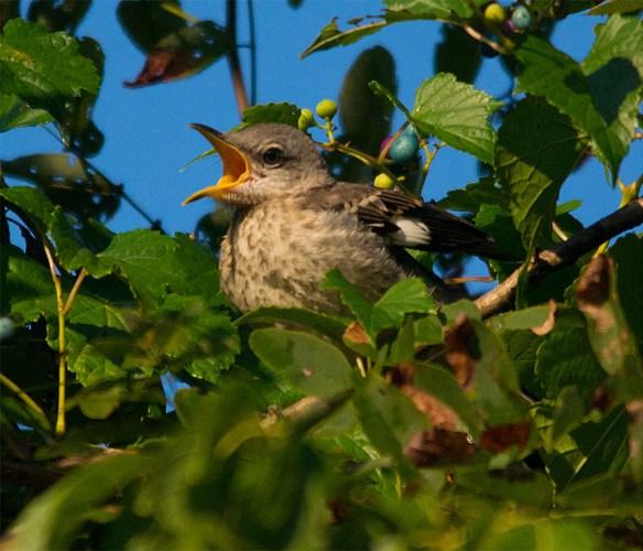 Mockingbird 105